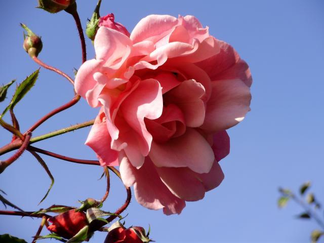 RÓŻA-jeszcze kwitnie