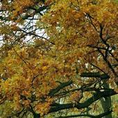 DĄB-kolory jesieni.
