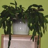 Kaktus wielkanocny - Rhipsalidopsis