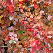 Irga - Jesiennie