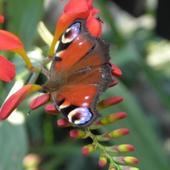 kroksomia i motyl