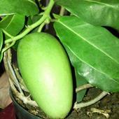 Owoc Stefanotisa