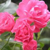 roża pnąca