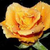 Róża w kropelkach
