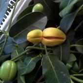 Stefanotisa nasionko dojrzewa