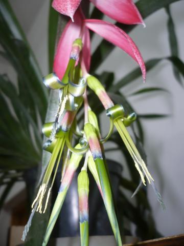 bilbergia zwisła