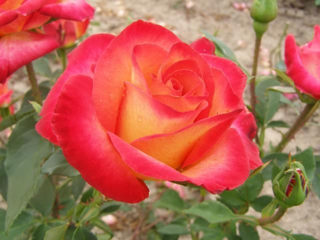 Róza - Alinka