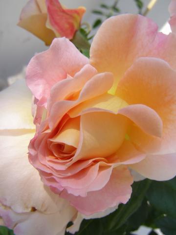 Róża - Augusta Luise