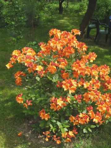 Różanecznik - Azalia