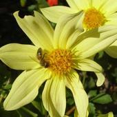 Dalia z pszczółką!