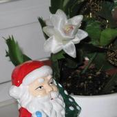Biały grudnik i Mikołaj