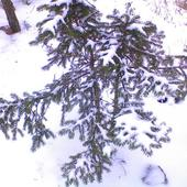 choineczka w zimowych szatach