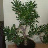 Grubosz hobbit, drzewko szczęścia