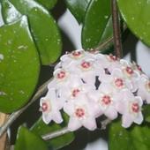 Hoja - kwiat