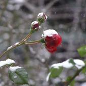 I przyszła zima - róża pnąca SYMPATHIE