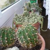 Kaktusowy parapet