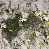 Kwiat Wczesnej Zimy