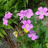Bodziszek (Geranium)