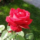 Róża - Ingrid Bergmann