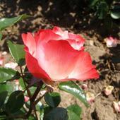 Róża o nazwie NOSTALGIE