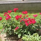 Róże - Lilli Marleen