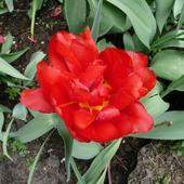 Tulipan Pełny Niski