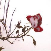 zimowa różyczka