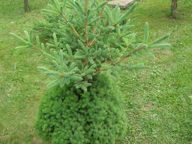 Czy ktoś to wyjaśni??Dwie różne rośliny na jednym pniu??