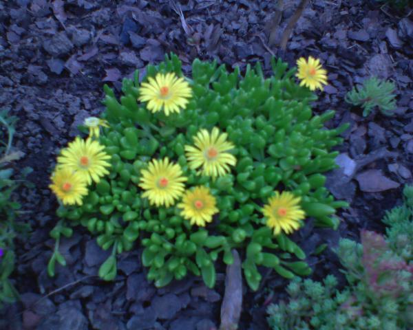delosperma żółta