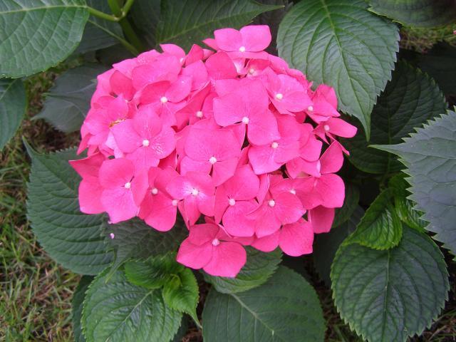 Hortensja czerwona