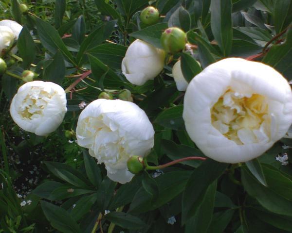 kwiatowa biała zima ...