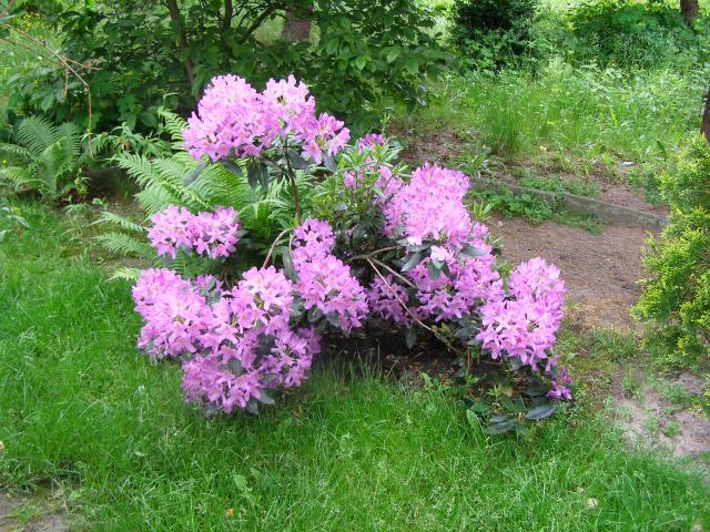 Rododendron - Różanecznik