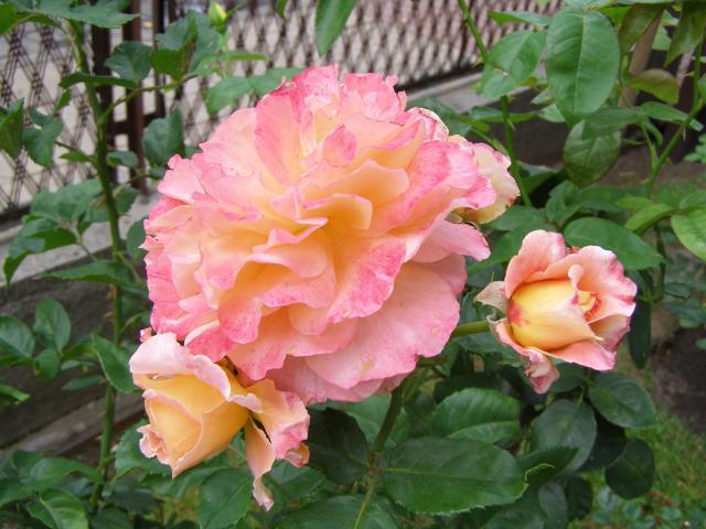 Róża - Albrecht Durer Rose - silnie pachnąca