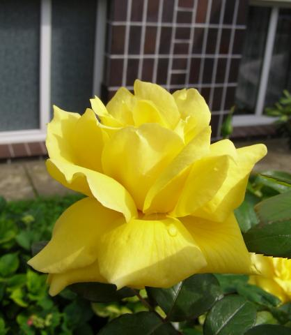 Róża - Landora