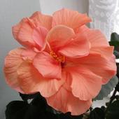 Hibiscus - róża chińska