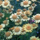 inne słoneczne kwiaty