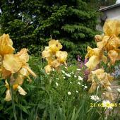 Irysy - mają bardzo duży kwiat