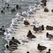 Kaczki nad Odrą