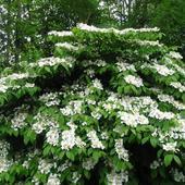 Kalina (Viburnum plicatum
