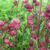 Kwiaty jarzmianki (Astrantia major)