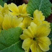 Pierwiosnek na wiosnę, tym razem żółciutki...