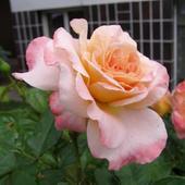 Róża - Albrecht Durer Rose