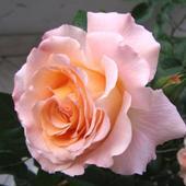Róża - Augusta Luise - silnie pachnąca!!!   ( Rosen Tantau 1999 rok )
