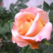 Róża - Augusta Luise - silnie pachnąca!!!   (Rosen Tantau 1999 rok)
