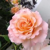 Róża - Augusta Luise - piękny zapach   ( Rosen Tantau 1999 rok )