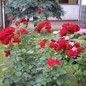 Róża - Lilli Marleen - Floribunda   ( W.Kordes' Sóhne 1959 )