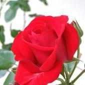 Róża pnąca - Santana - piękny pąk i czerwień.   ( Rosen Tantau  1985 rok )