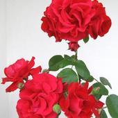 Róża pnąca - Santana - wyjątkowa czerwień.