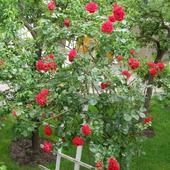 Róża pnąca - Sympathie - 5m wysoka,silna,kwitnie cały sezon