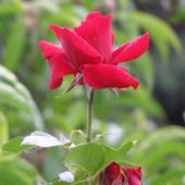 Róża pnąca - Sympathie